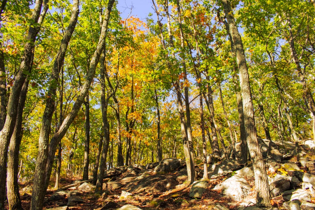 Yellow autumn trees in Hudson Highlands State Park