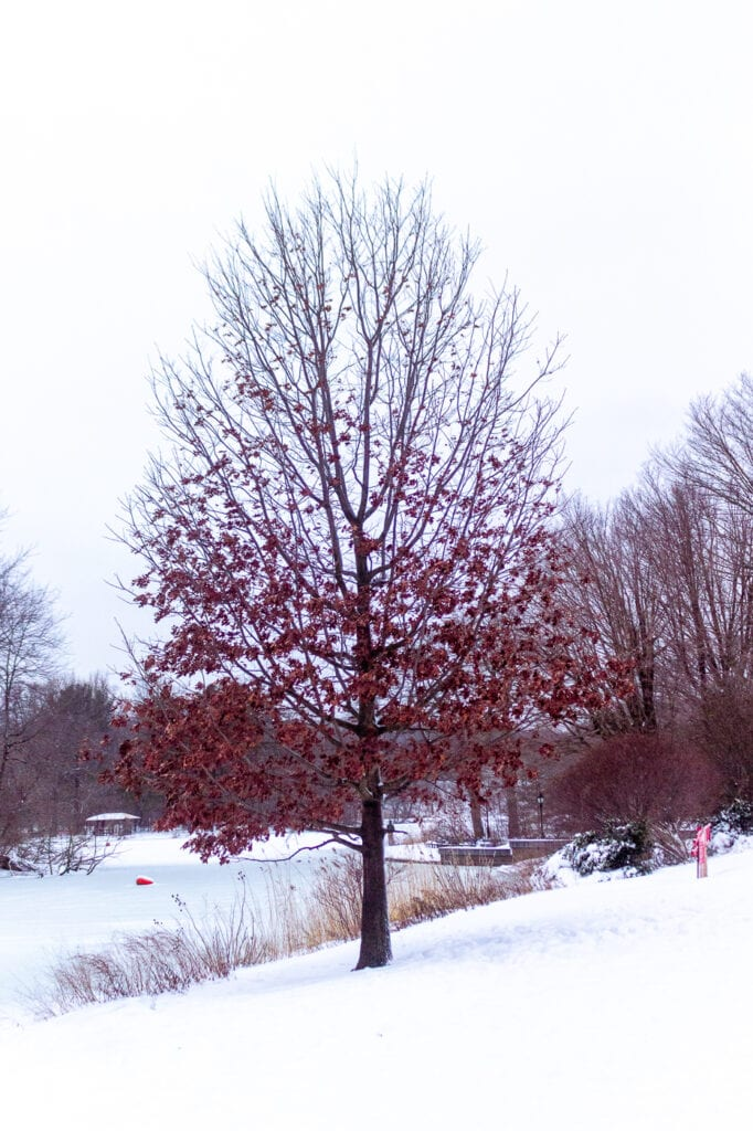 Red Tree in the Snow Photography