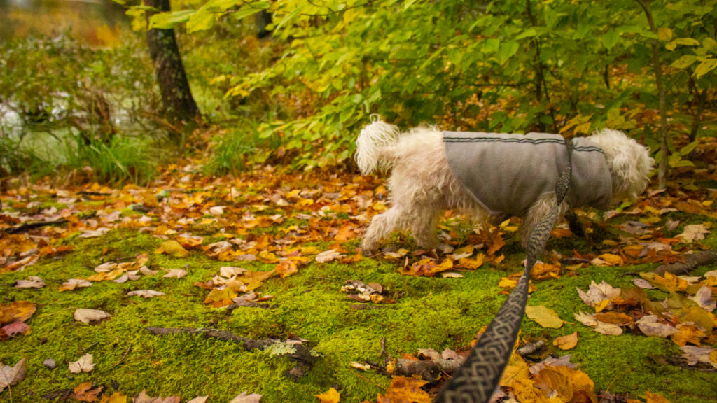 Small Terrier Hiking Dog